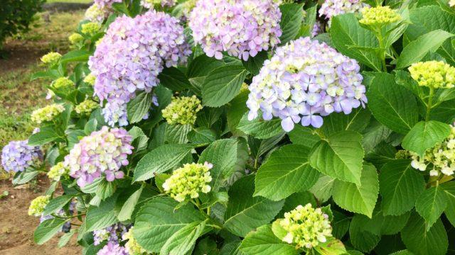 岡野公園の紫陽花