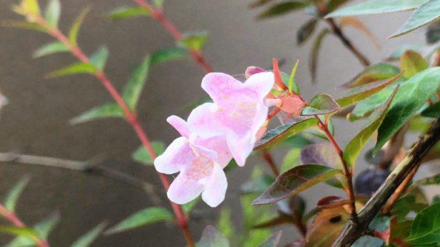 家に咲いたアベリア