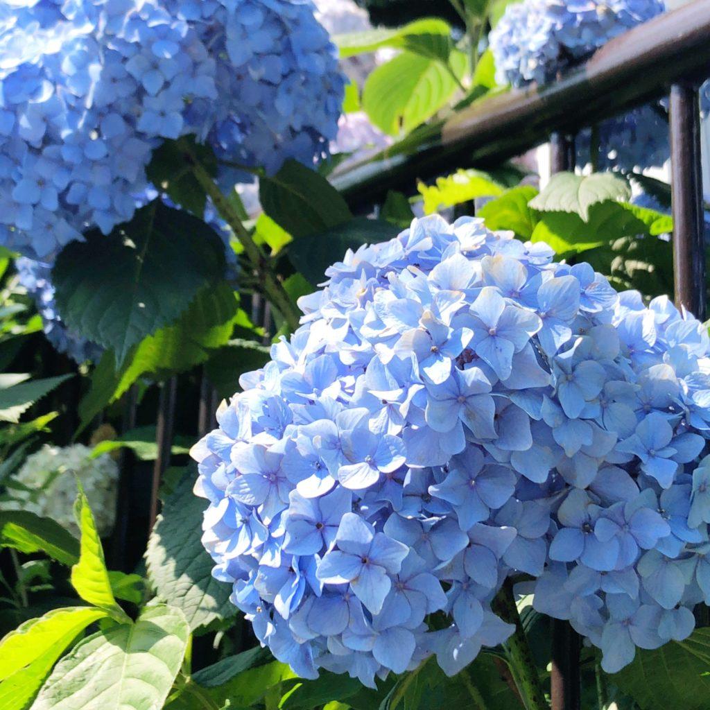 掃部山公園の紫陽花